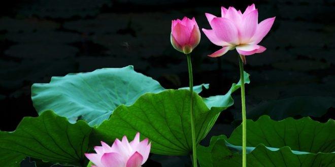Mơ thấy hoa sen đang nở rộ giữa đầm lầy là điềm báo tốt lành đang đến với bạn